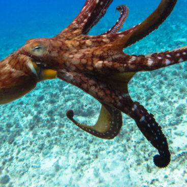 Abrolhos Octopus